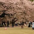 新宿御苑の桜 06
