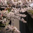墨田川沿いの桜