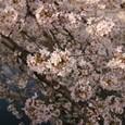 目黒川の桜 01